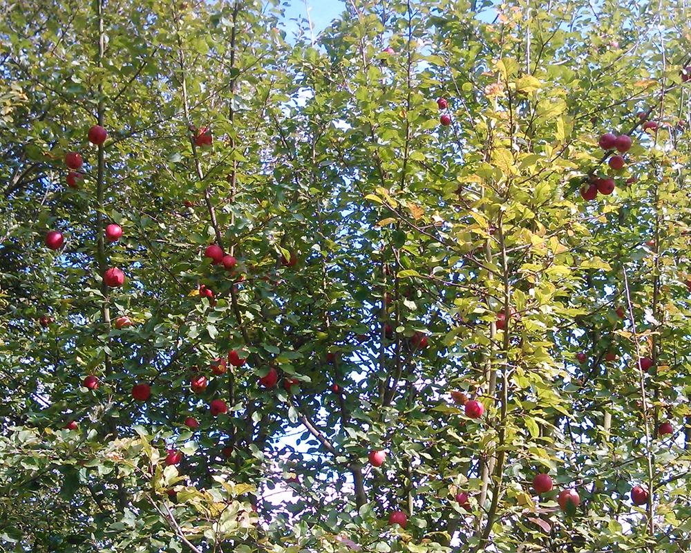 hombroich-aepfel.jpg
